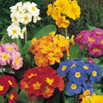 Pack of 15 Garden Ready Polyanthus Plants ONLY £1