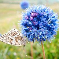 Allium Blue Drumstick Bulbs